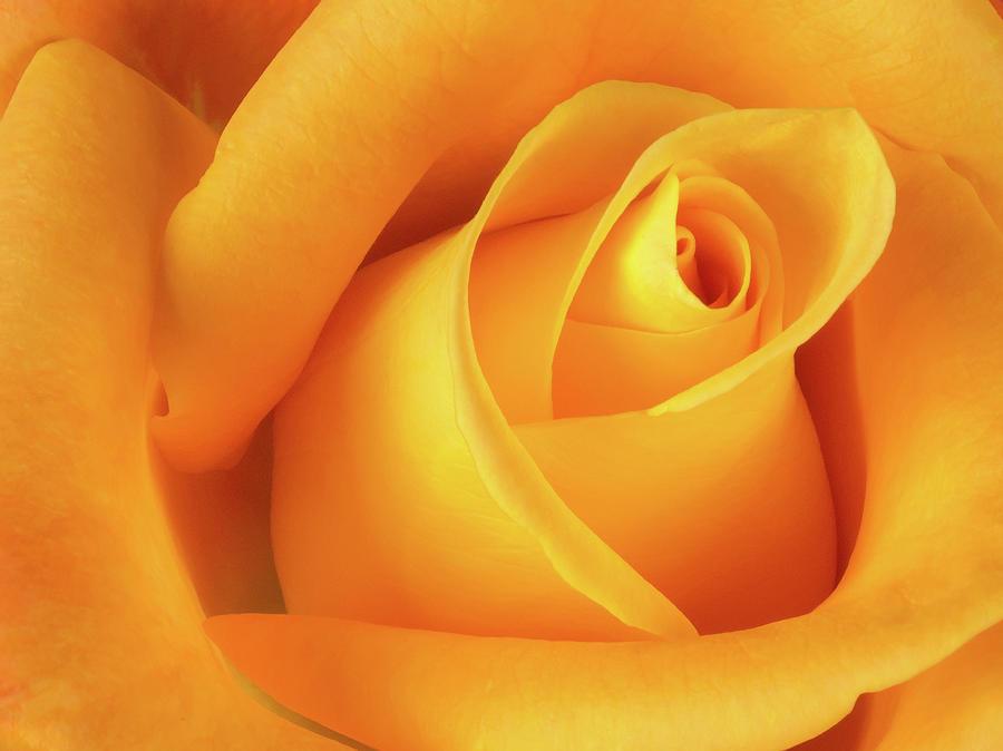 Orange Rose Photograph by © Tim Layton Sr
