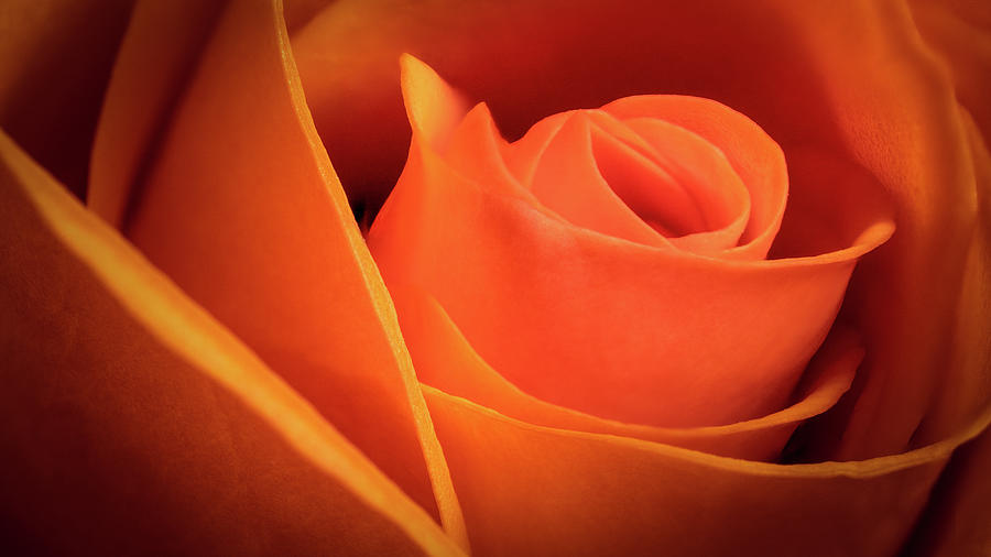 Orange Rose by Brian Caldwell