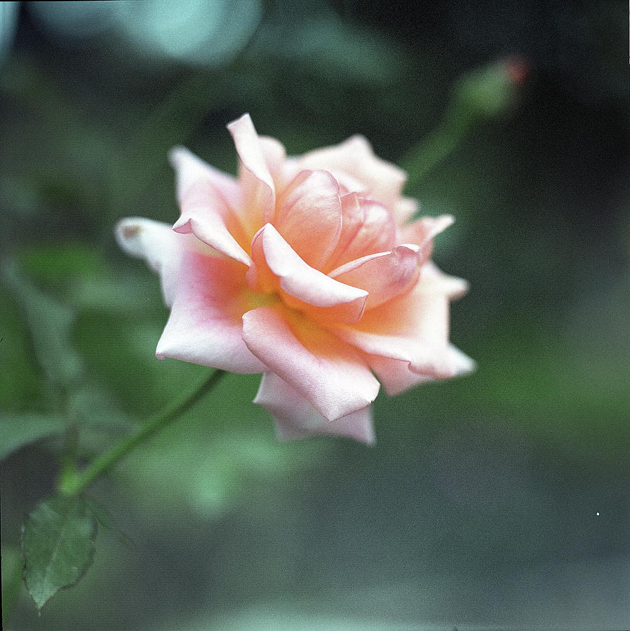 Orange Rose Photograph by Image Is Everything!