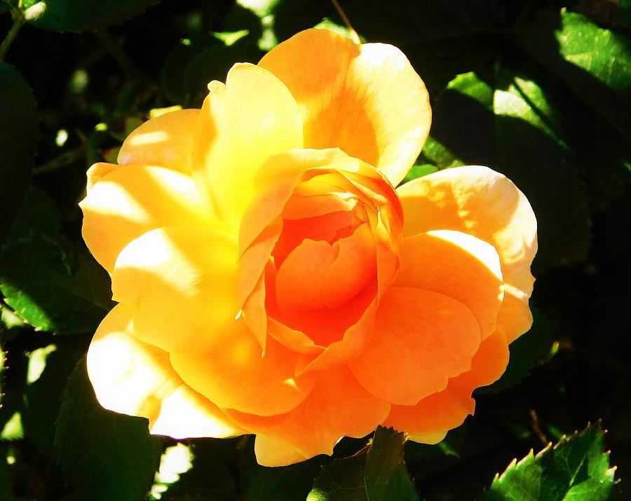 - Orange Rose by - Theresa Nye