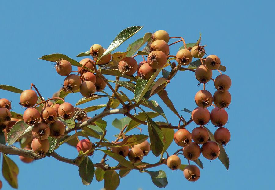 Orange Rowan Berries by Cate Franklyn