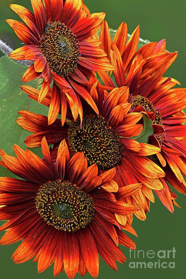 Orange Sunflower Group Portrait Photograph
