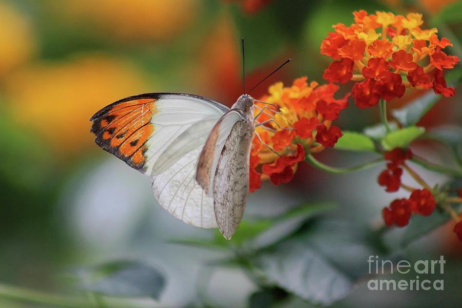 Orange Tip Butterfly 2019 by Karen Adams