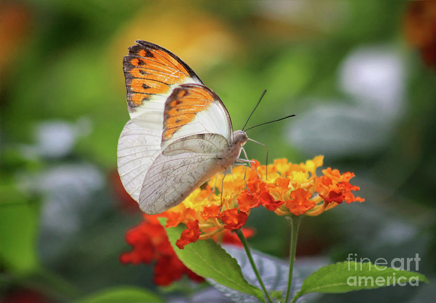 Orange Tip Butterfly on Lantana by Karen Adams