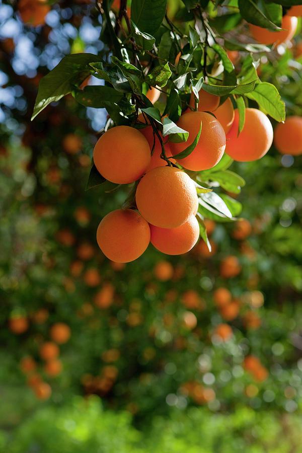 Orange Trees Photograph by Ozgurdonmaz