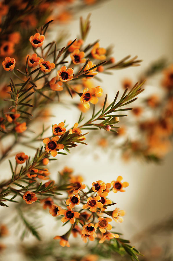 Orange Waxflowers Chamaelaucium Photograph by Maria Mosolova