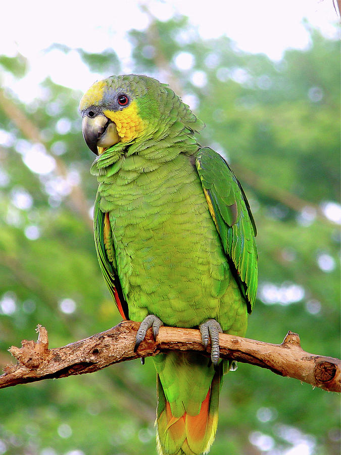 Amazon Photograph - Orange winged Amazon Parrot by Blair Wainman