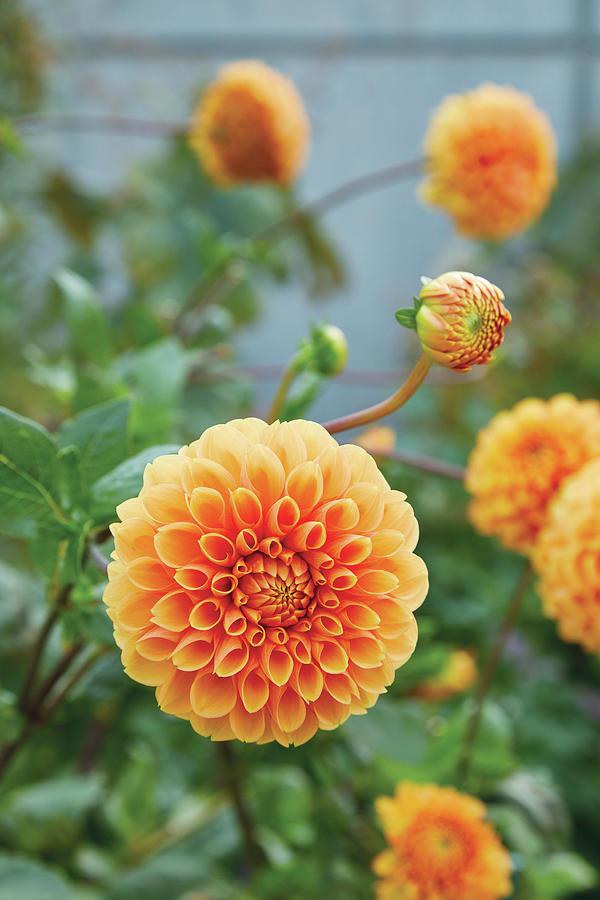 Orange Dahlia by Garden Gate magazine
