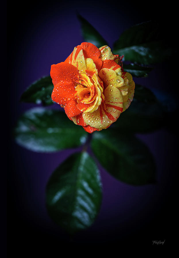 Oranges and Lemons Rose by Fred J Lord