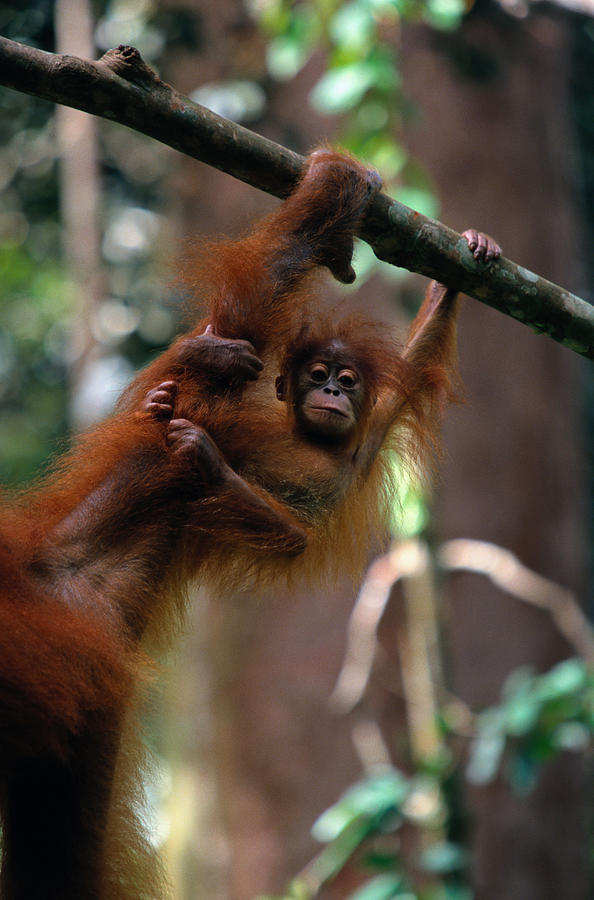 Orangutan Baby Pongo Pongo Abelii Photograph by Art Wolfe