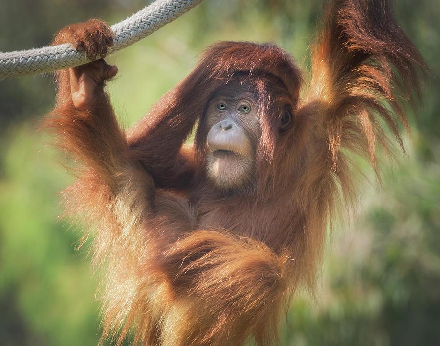 Orangutan by Christopher Cutter