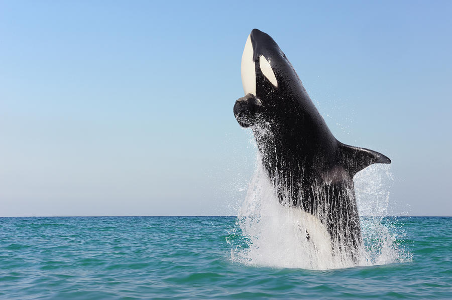 Orca Jumping Out Of Water Photograph by Martin Ruegner