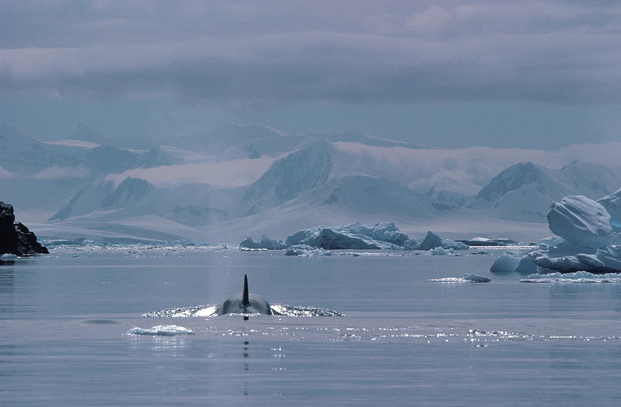 Orca Orcinus Orca, Antarctica Photograph by Art Wolfe