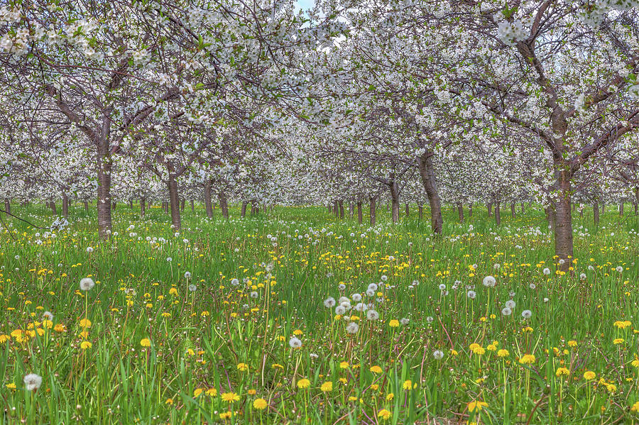 Orchard Blooms by Paul Schultz