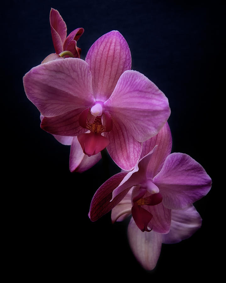 Orchid 10 by Rosette Doyle