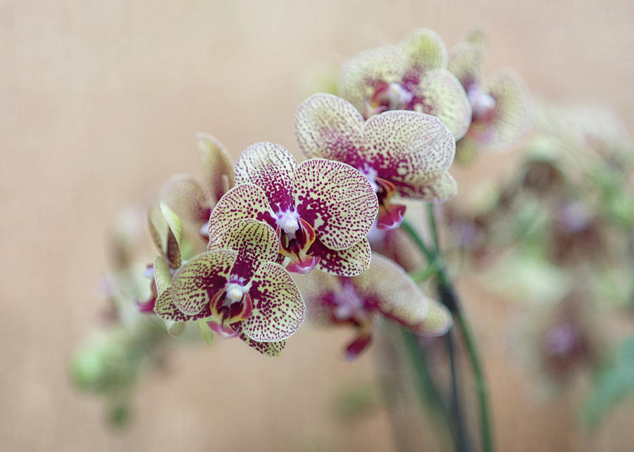 Orchid 5  by Rosette Doyle