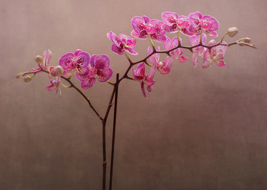 Orchid 6 by Rosette Doyle