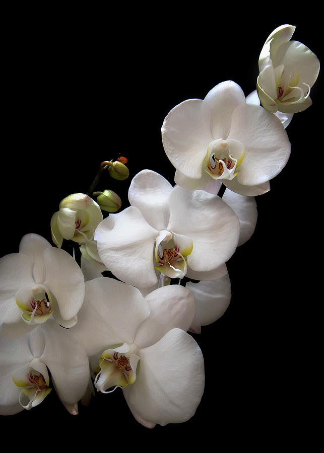 Orchid 7 by Rosette Doyle