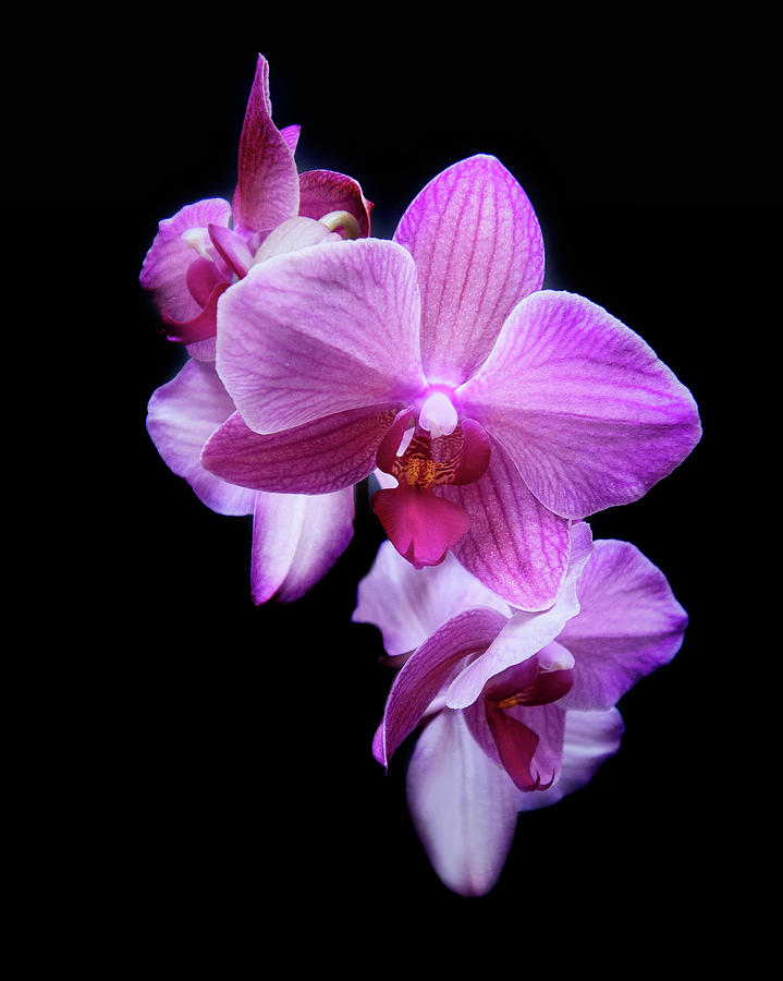 Orchid 8 by Rosette Doyle