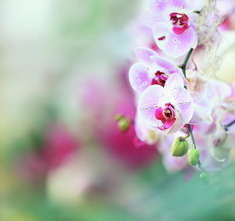 Orchid Background Photograph by Borchee