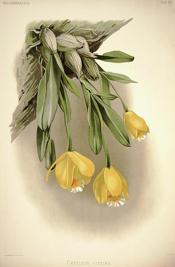 Sander Painting - Orchid, Cattleya Citrina by Henry Frederick Conrad Sander