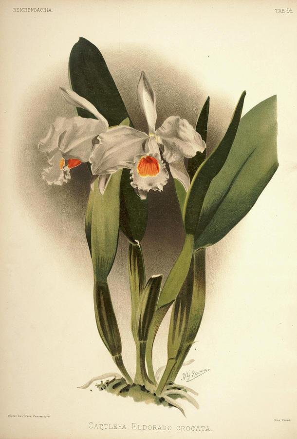 Sander Painting - Orchid, Cattleya Eldorado Crocata by Henry Frederick Conrad Sander