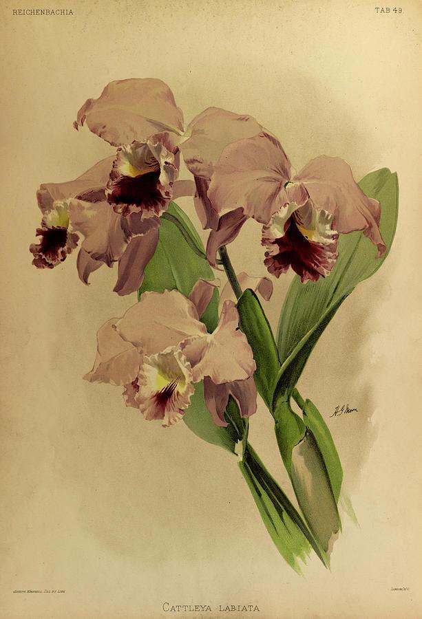 Sander Painting - Orchid, Cattleya Labiata by Henry Frederick Conrad Sander