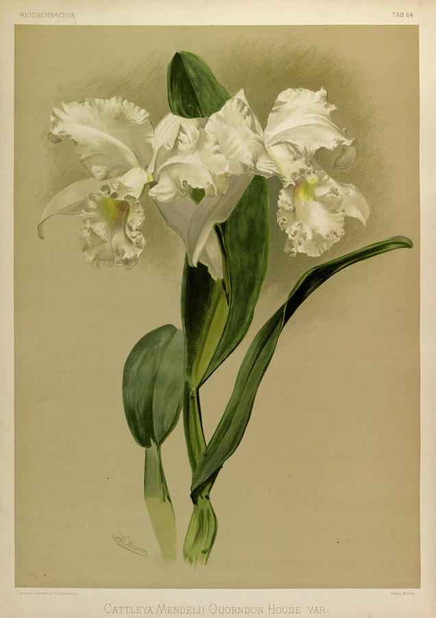 Sander Painting - Orchid, Cattleya Mendelli Quorndon House Var by Henry Frederick Conrad Sander
