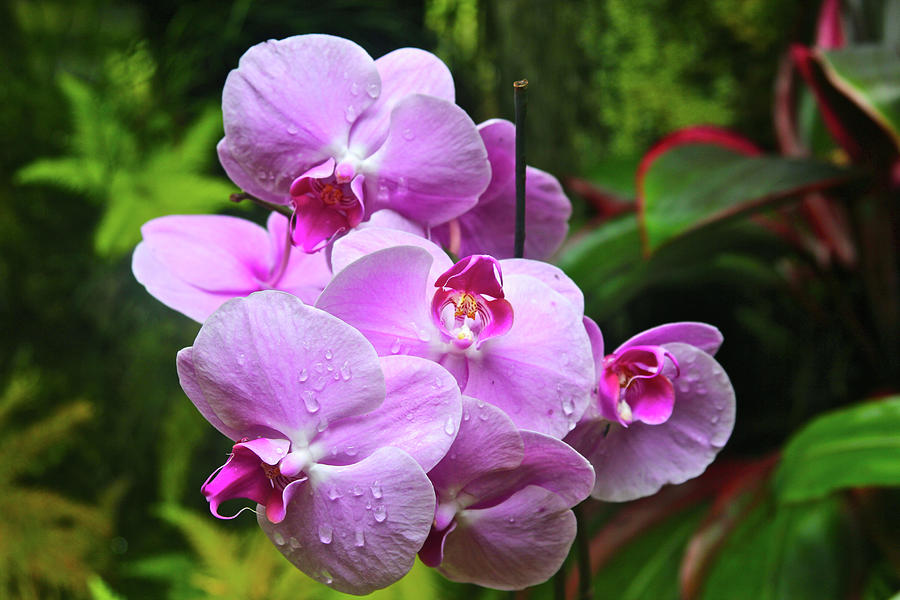 Orchid Photograph - Orchid Cluster by Melvin Ah Ching