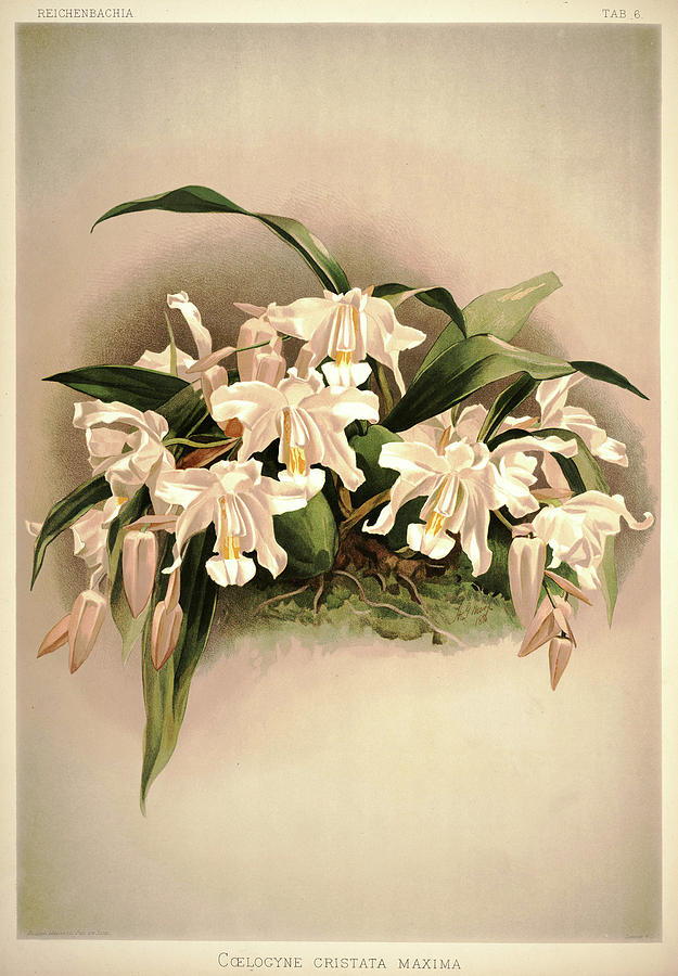 Sander Painting - Orchid, Coelogyne Cristata Maxima by Henry Frederick Conrad Sander