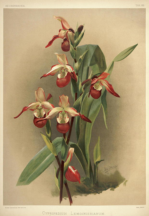 Sander Painting - Orchid, Cypripedium Lemoinierianum by Henry Frederick Conrad Sander