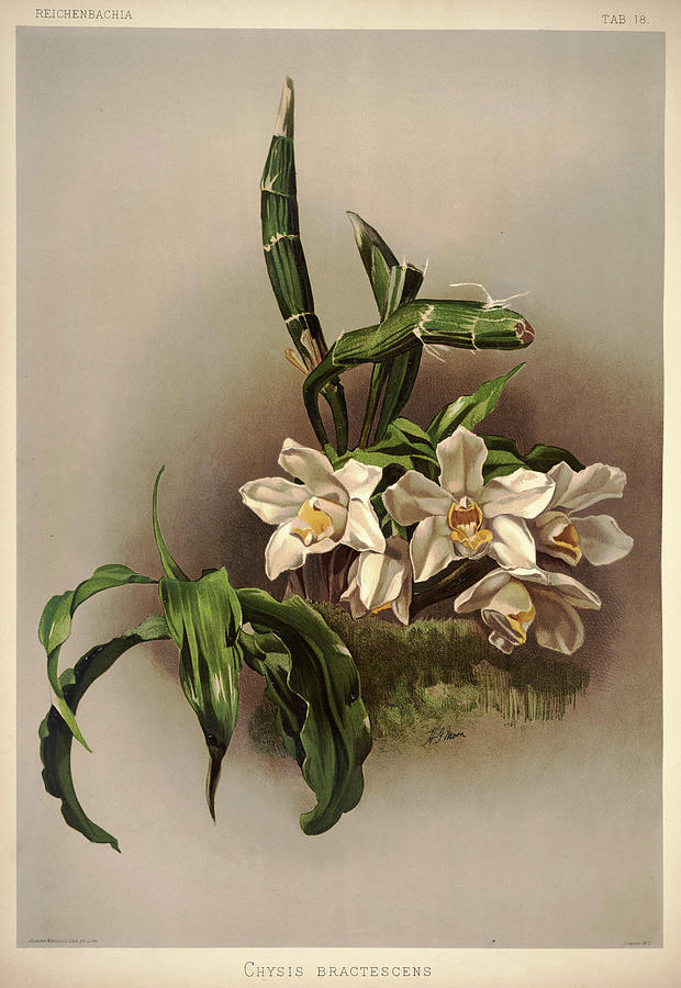 Sander Painting - Orchid, Cysis Bractescens by Henry Frederick Conrad Sander