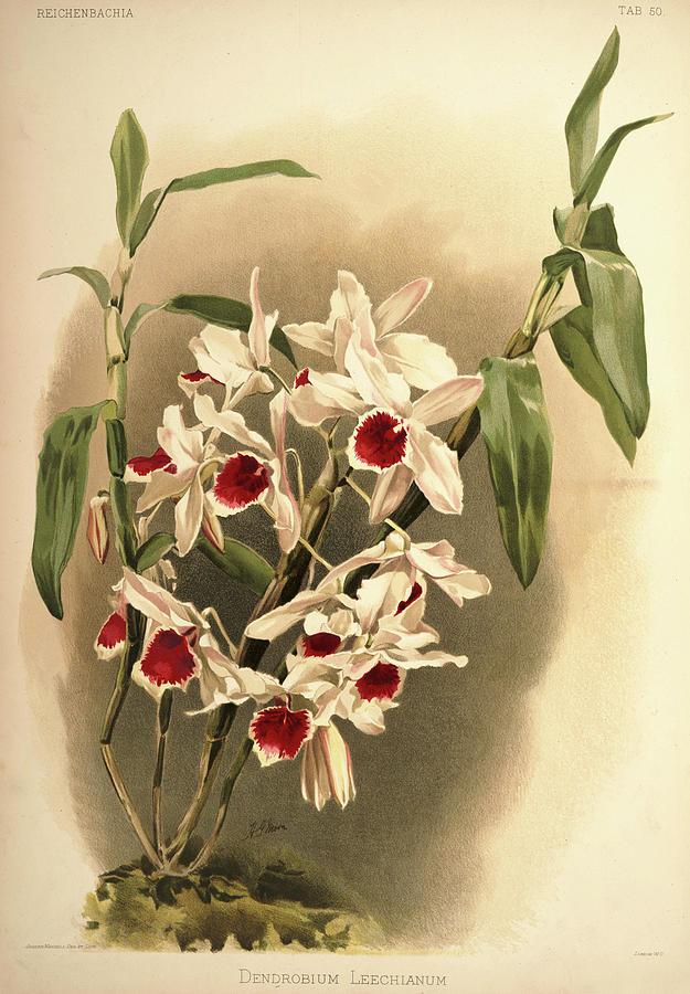 Sander Painting - Orchid, Dendrobium Leechianum by Henry Frederick Conrad Sander