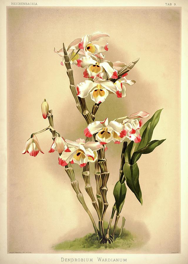 Sander Painting - Orchid, Dendrobium Wardianum by Henry Frederick Conrad Sander