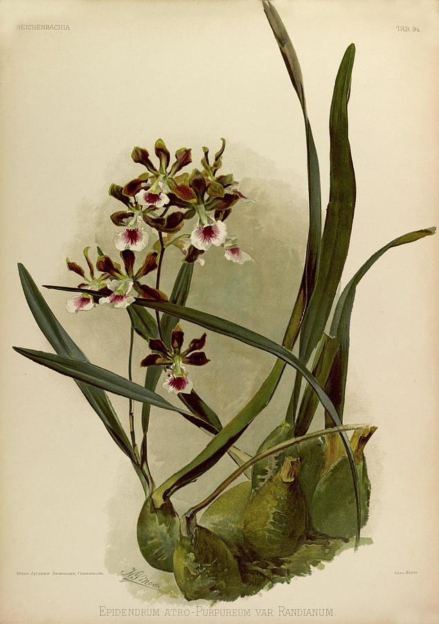 Sander Painting - Orchid, Epidendrum Atro, Purpureum Var Randianum by Henry Frederick Conrad Sander