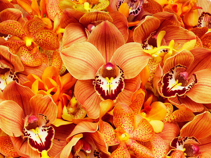 Orchid Flowers Photograph by Davies And Starr