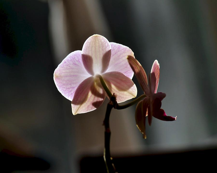 Orchid in the Morning Light by JACK RIORDAN