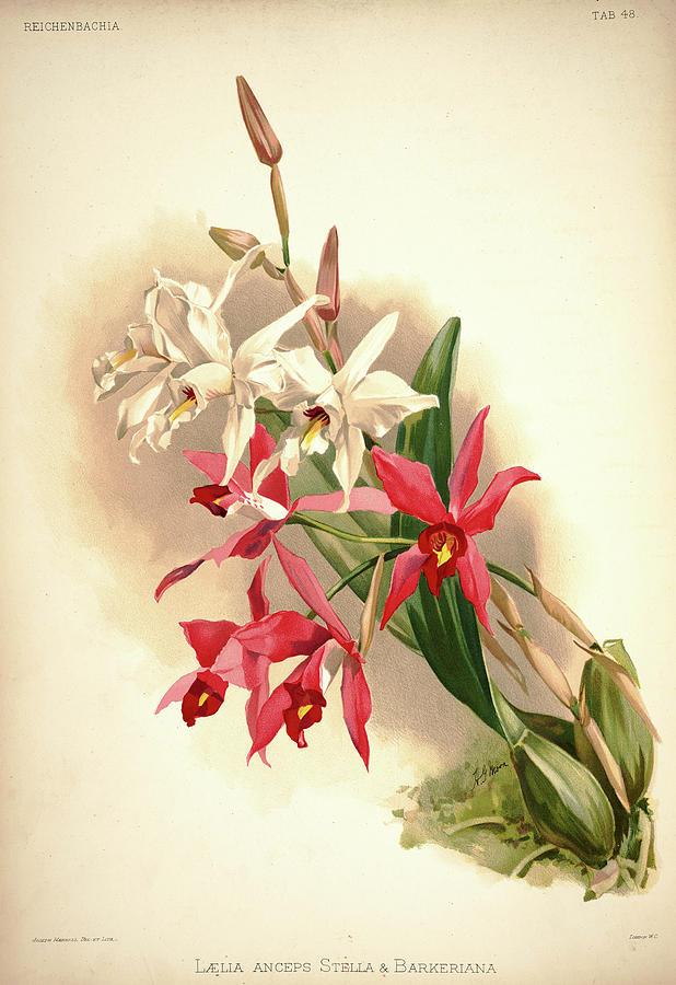 Sander Painting - Orchid, Laelia Anceps Stella, Barkeriana by Henry Frederick Conrad Sander