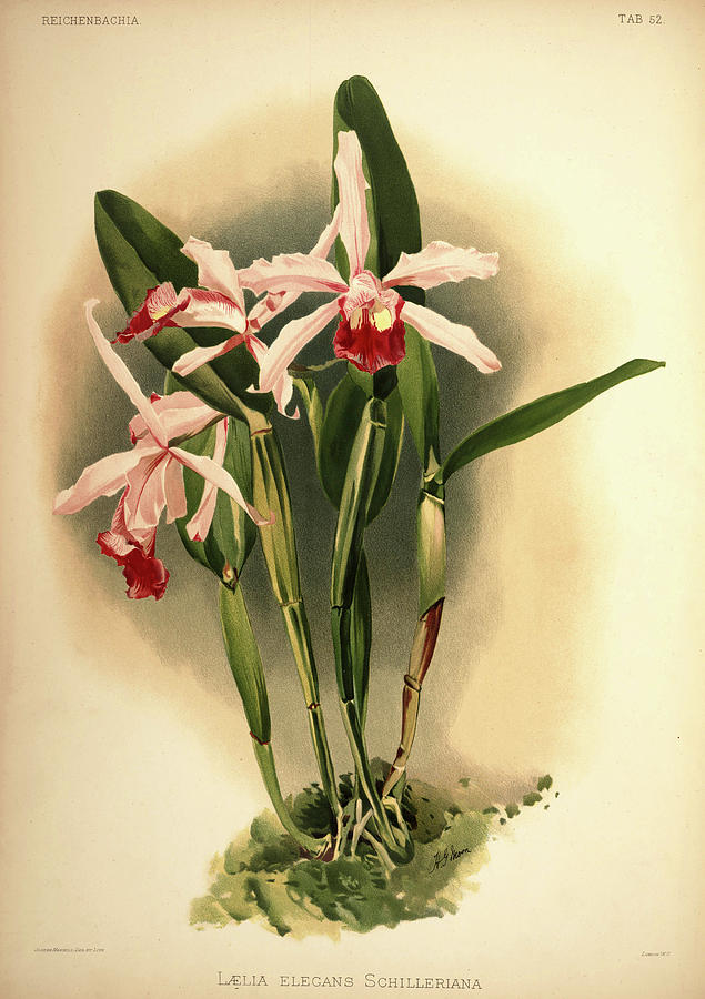 Sander Painting - Orchid, Laelia Elegans Schilleriana by Henry Frederick Conrad Sander