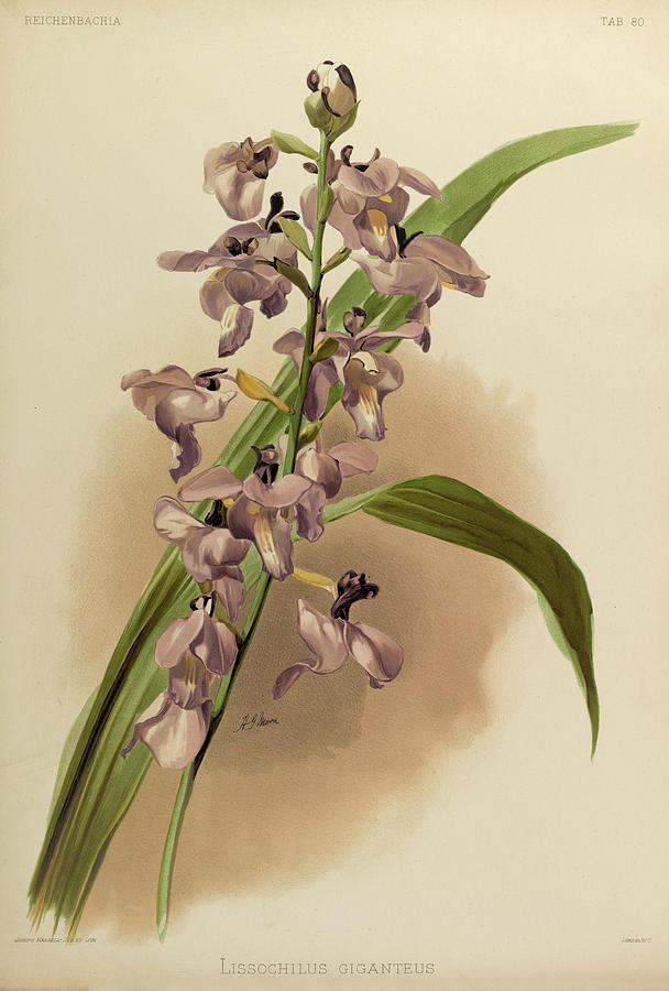 Sander Painting - Orchid, Lissochilus Giganteus by Henry Frederick Conrad Sander