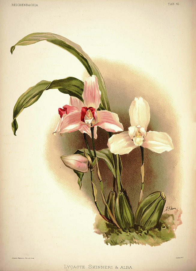 Sander Painting - Orchid, Lycaste Skinneri And Alba by Henry Frederick Conrad Sander