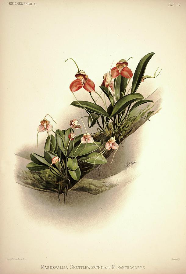 Sander Painting - Orchid, Masdevallia Shuttleworthii And Xanthocorys by Henry Frederick Conrad Sander