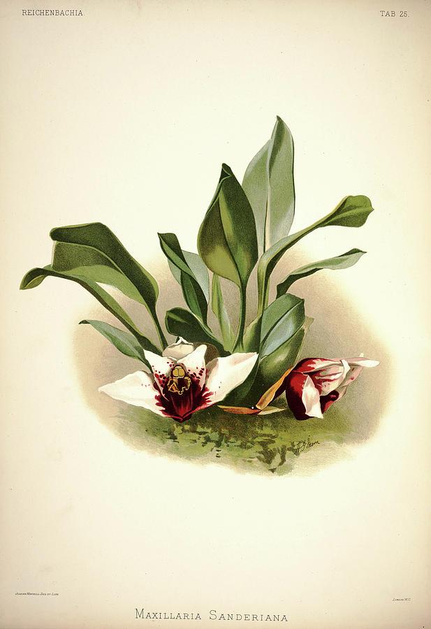 Sander Painting - Orchid, Maxillaria Sanderiana by Henry Frederick Conrad Sander