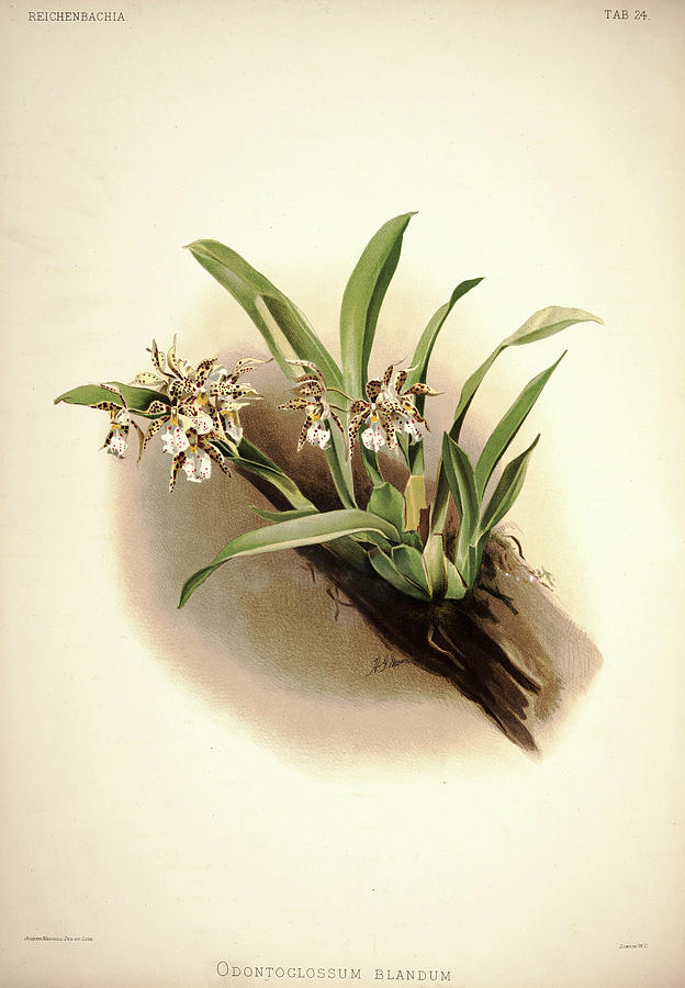 Sander Painting - Orchid, Odontoglossum Blandum by Henry Frederick Conrad Sander