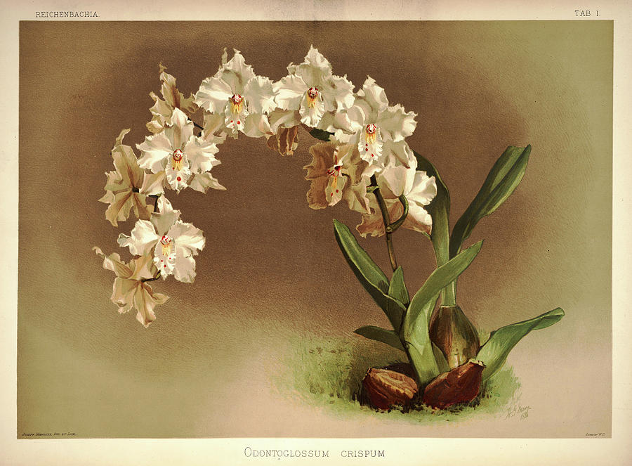 Sander Painting - Orchid, Odontoglossum Crispum by Henry Frederick Conrad Sander