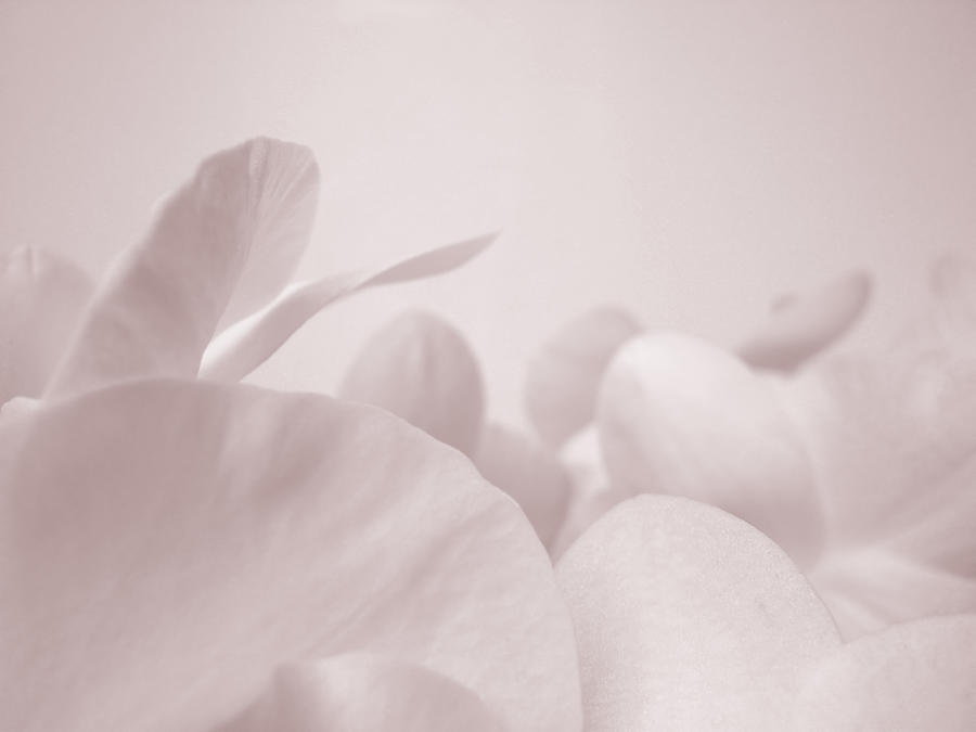 Orchid Petals Photograph by Havet