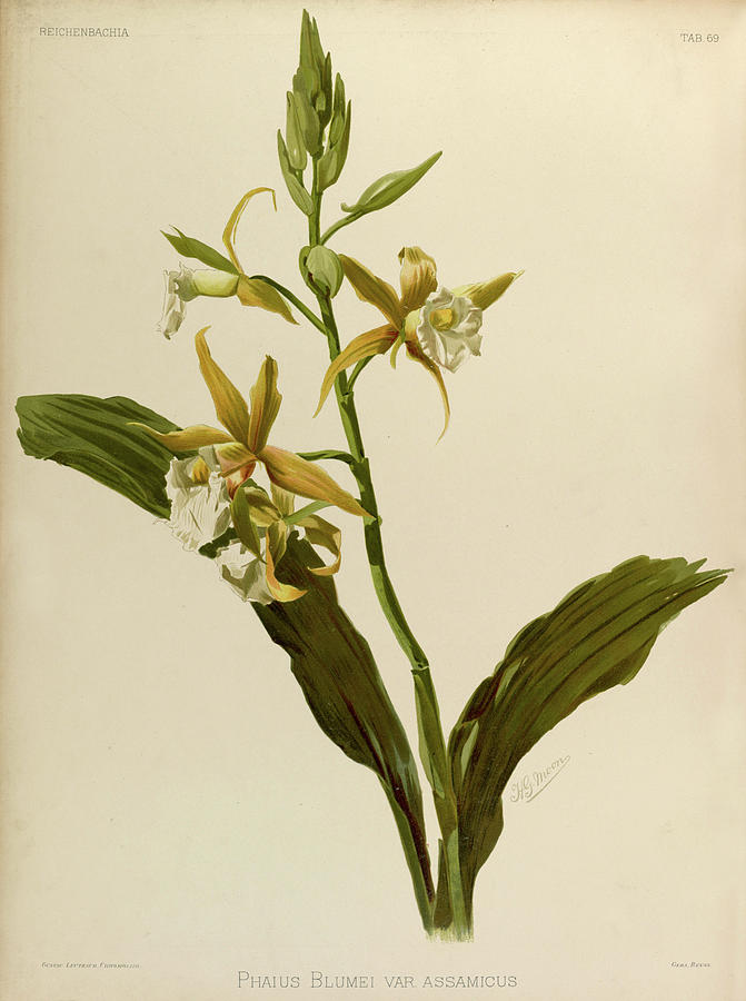 Sander Painting - Orchid, Phaius Blumei Var Assamicus by Henry Frederick Conrad Sander