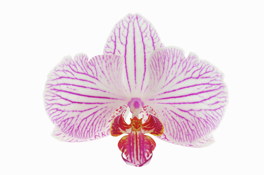 Orchid Phalaenopsis Spec. Close Up With Photograph by Martin Ruegner