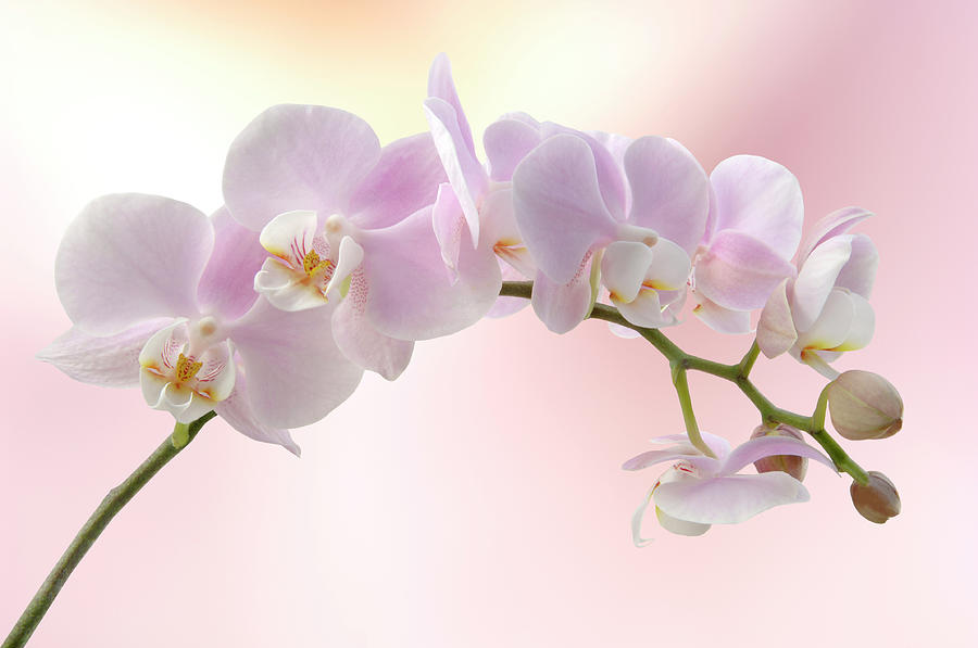 Orchid Photograph by Pixhook