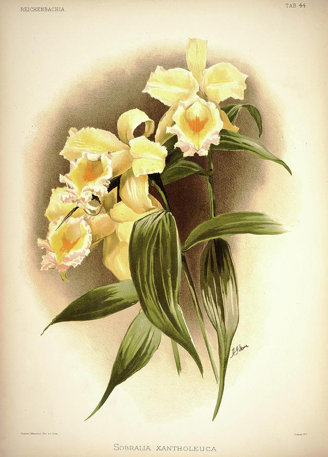 Sander Painting - Orchid, Sobralia Xantholeuca by Henry Frederick Conrad Sander